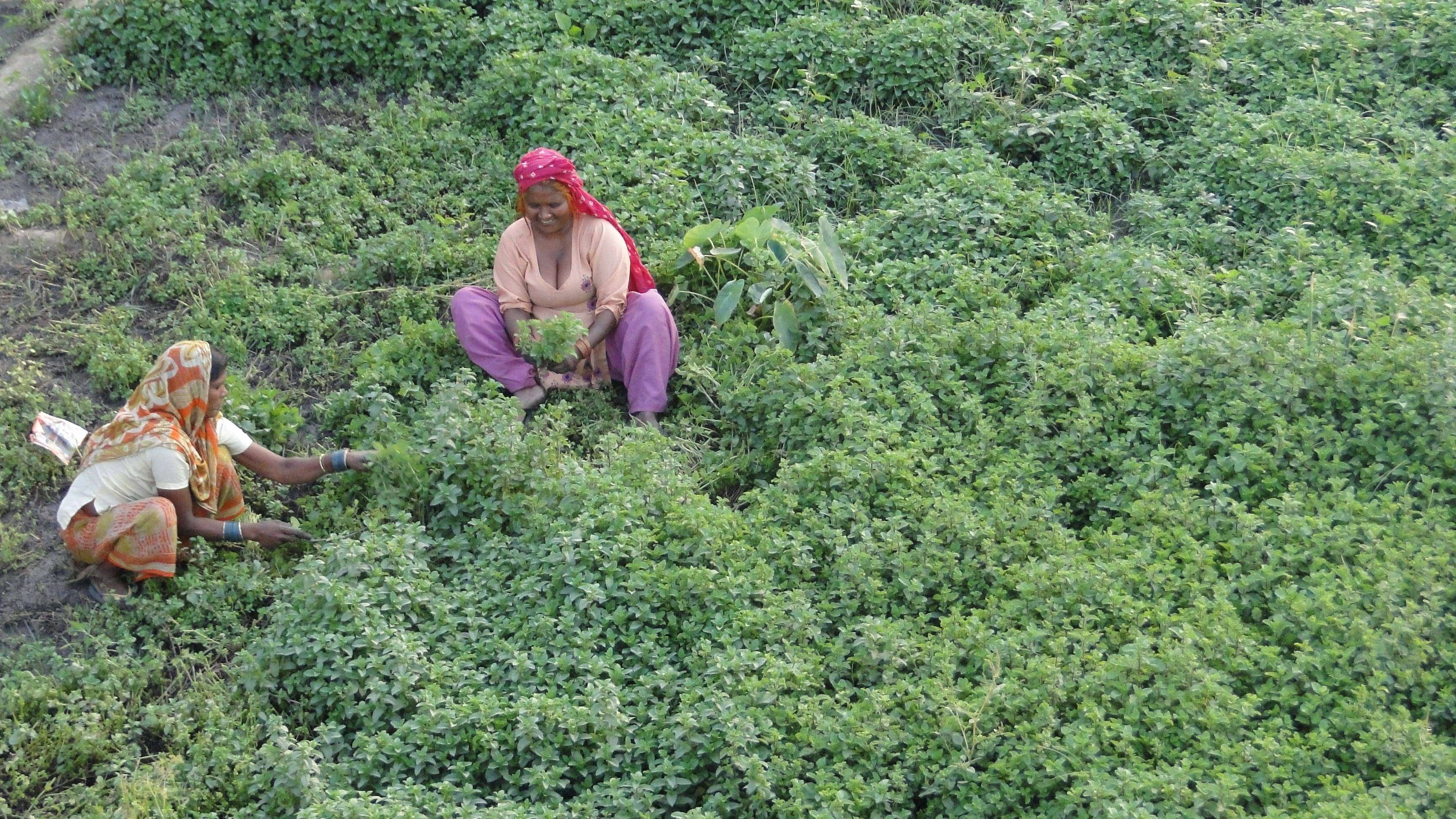 zbior ziol prze fabryce Indie