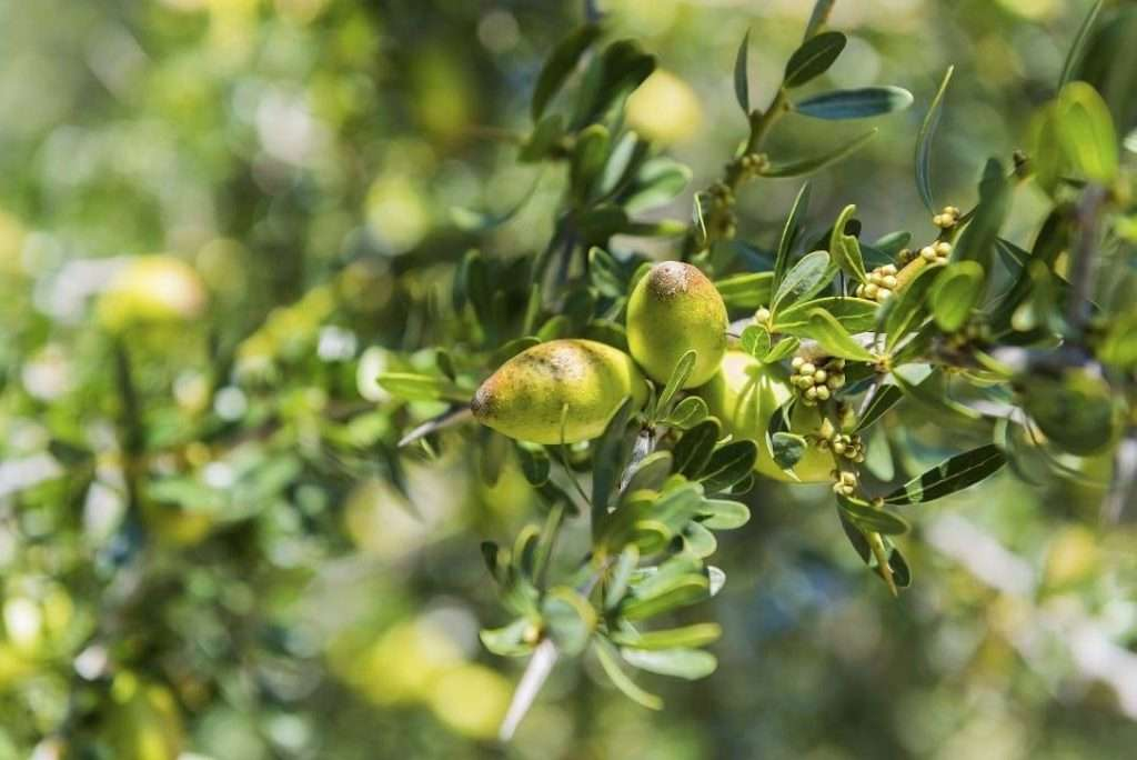 Branch of argan tree full of fresh and green fruits. Argan fruits are used for cosmetical products