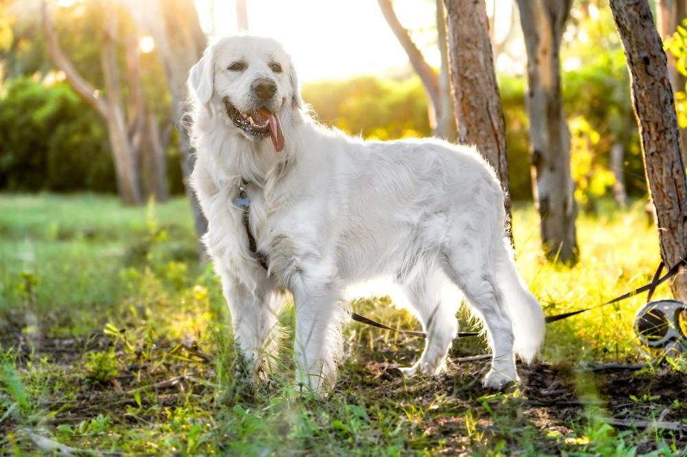 jak obliczyć wiek psa