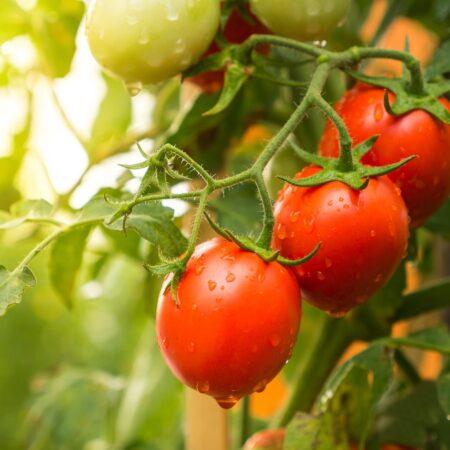 Sezon na pomidory
